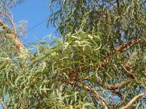 Eucalyptus lirata insert