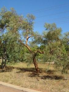 Eucalyptus lirata.jpeg