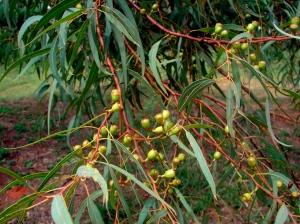 Eucalyptus lirata