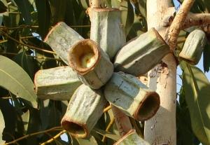 Eucalyptus miniata1
