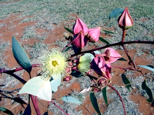 Eucalyptus pachyphylla