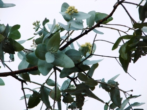 Eucalyptus pruinosa