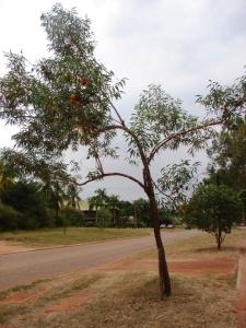 Eucalyptus phoenicea