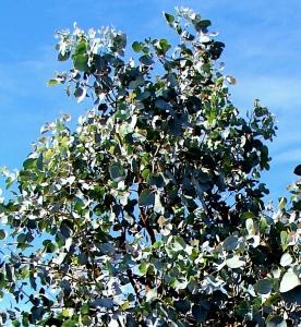 Eucalyptus oligantha