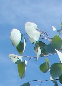 Eucalyptus rotundifolius