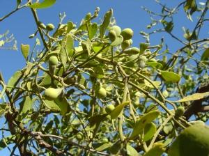 Exoecaria parvifolia