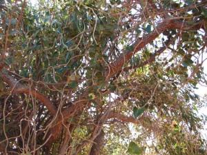 Ficus oposita