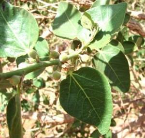 Ficus aculeata