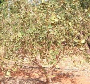 Ficus opposita