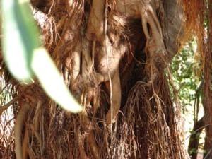 Ficus virens trunk