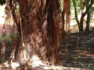 Ficus virens