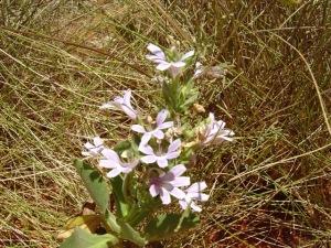 Goodenia scaevolina