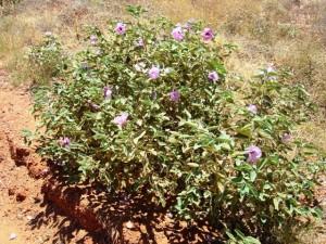Gossypium australe