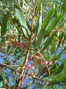 Grevillea heliosperma