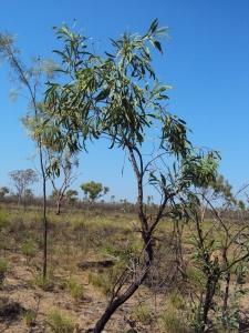 Grevillea mimosoides