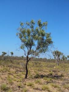 Grevillea mimosoides2