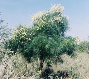 Grevillea pyramidalis _1