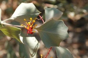 Grevillea wickhamii ssp