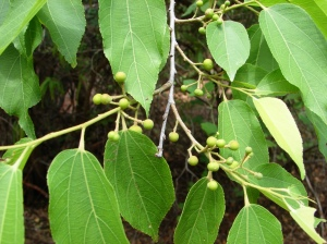Grewia brevifolia 2
