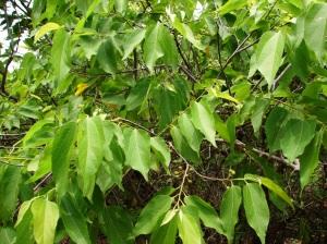 Grewia brevifolia