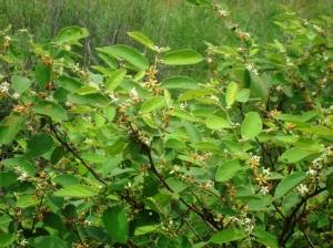 Grewia retusifolia