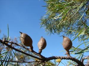Hakea arborescens1