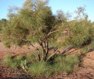 Hakea arborescens