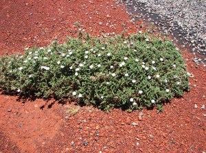 Heliotropium crispatum