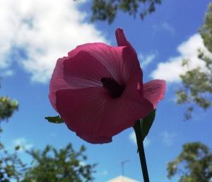 Hibiscus frixellii2