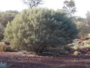 Acacia ramulosus ssp linophylla