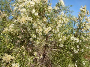 Melaleuca minutifolia
