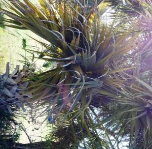 Livistona alfredii trunk
