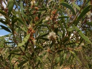 Melaleuca alsophila