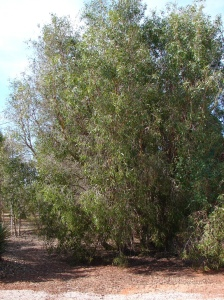 Melaleuca dealbata