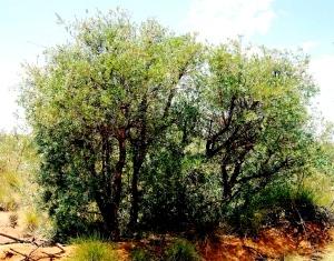 Melaleuca lasiandra