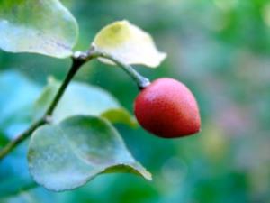 Muraya paniculata fruit