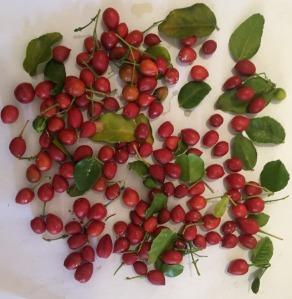 Murraya paniculata ssp paniculata