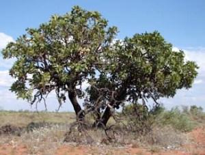 Owenia reticulata