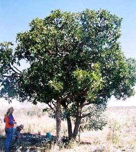 Owenia reticulata4