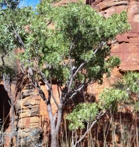 Owenia vernicosa2