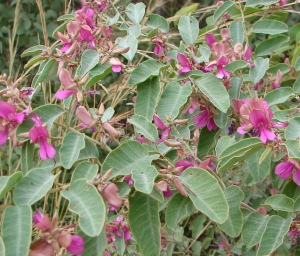 Indigofera monophylla