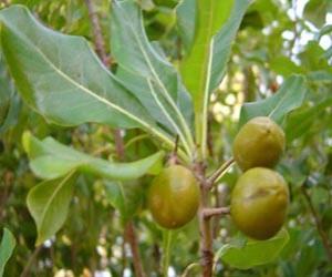 Pittosperum seeds