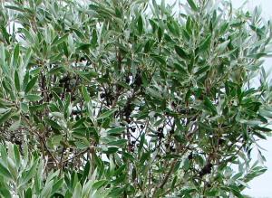 Pittosporum phillyreoides