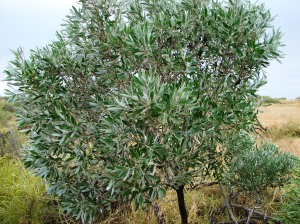 Pittosporum phillyreoides