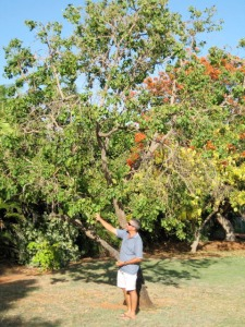 Planchonia careya tree