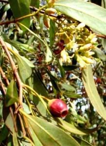 Santalum lanceolatum fr