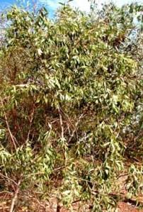 Santalum lanceolatum shrub