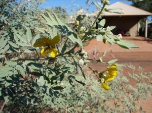 Senna artemisioides ssp desolata1