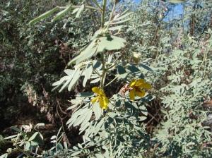 Senna artemisioides ssp desolata2