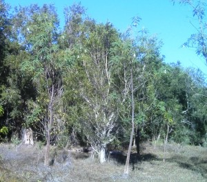 Sesbania formosa with Melaleuca